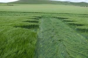 Stanton St Bernard dual-phase priapic crop circle points to ancestral Milk Hill