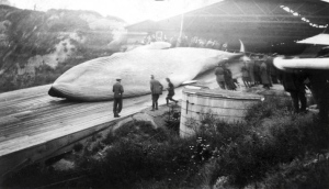 Whaling in California, c,1924