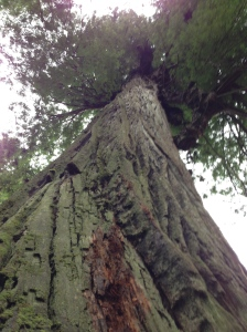 Big Tree, like her sister Corkscrew Tree, both 350-ft+ sequoia sempervirens, hold Prairie Creek State Park microsystem in balance