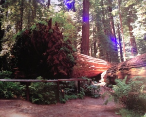 One century on—John Muir's Redwood darlings—stripped for cash, hemmed in by hiking trails