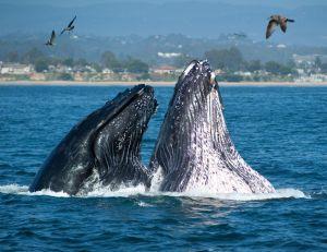 Cetacean whisperers help us tune in—use it before we lose it