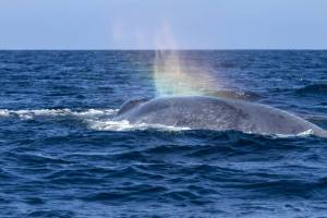 Migrating gray whales sometimes learn notes from humpbacks on their shared journey